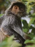 Portrait of a Silvered-Leaf Monkey, Borneo Photographic Print by Mattias Klum