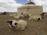 Native Housing, Felt Tent, or Yurt, and Sheep of Mongolian Sheep Ranchers Reproduction photographique par James L. Stanfield