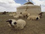 Native Housing, Felt Tent, or Yurt, and Sheep of Mongolian Sheep Ranchers Fotoprint van James L. Stanfield