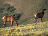Two Deer Graze on the Alpine Ridge Trail in the Rocky Mountain National Park, Colorado Photographic Print by Richard Nowitz