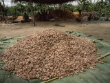 Large Pile of Cacao Beans Already Cleaned of their Pulp Photographic Print by James L. Stanfield