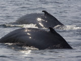 Two Humpback Whales Swim in Unison, Massachusetts Photographic Print by Tim Laman