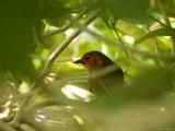 Red-Faced Liocichla, North Carolina Zoo Photographic Print by Joel Sartore