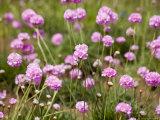 Purple Flowers in a Field Fotografisk tryk af David Evans