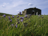Purple Wildflowers with the Remains of a Log Cabin in the Background Photographic Print by James P. Blair