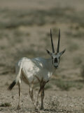 Portrait of an Arabian Oryx Photographic Print by James L. Stanfield