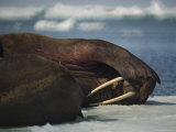 Male Walrus Shields its Eyes from the Sun, Alaska Photographic Print by Bill Curtsinger
