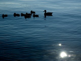 Silhouetted Duck Family Swims Across the Thames River, Groton, Connecticut Photographic Print by Todd Gipstein