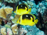 Two Fourspot Butterflyfish, Takapoto Atoll, French Polynesia Fotografisk tryk af Tim Laman