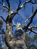 The Knarled Branches of a Dead Stag Red River Gum Eucalypt Tree, Australia Photographic Print by Jason Edwards