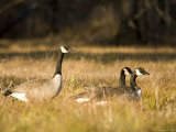Trio of Canada Geese, Massachusetts Photographic Print by Tim Laman