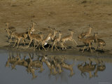 Timid Impala Herd Flees in Alarm from a Waterhole Photographic Print by Jason Edwards