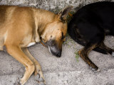 Two Sleeping Dogs Lie Next to Each Other, French Polynesia Photographic Print by Tim Laman