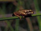 Southern Brown Tree Froglet Perched on a Grass Reed over a Pond, Australia Photographic Print by Jason Edwards