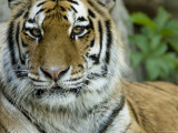 Siberian Tiger at the Henry Doorly Zoo in Omaha, Nebraska Photographic Print by Joel Sartore