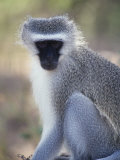 Vervet Monkey in the Sun, South Africa Stampa fotografica di Bill Hatcher