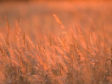 The Setting Sun Catches Prairie Grasses at Dusk Photographic Print by Joel Sartore