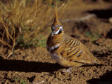 Spinifex Pigeon on the Ground with Beautiful Feather Markings, Australia Photographic Print by Jason Edwards