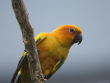 Sun Conure at the Sedgwick County Zoo, Kansas Photographic Print by Joel Sartore