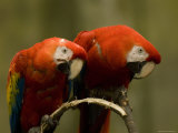 Scarlet Macaws from the Omaha Zoo, Nebraska Photographic Print by Joel Sartore