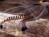 The Tail Feather Display of a Male Lyrebird, Australia Photographic Print by Jason Edwards