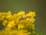 Soldier Beetle on a Goldenrod Photographic Print by Joel Sartore