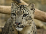 Snow Leopard Cub at the Sunset Zoo Photographic Print by Joel Sartore