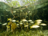 School of Snappers Shelters Among Mangrove Roots, Belize Photographic Print by Tim Laman