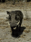 Ugly Hostile Warthog Face-On with Large Tusks Threatens to Charge Photographic Print by Jason Edwards