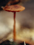 The Delicate Fungi Cap Laccaria, Emerging from Forest Leaf Litter, Bunyip State Forest, Australia Photographic Print by Jason Edwards