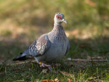 Speckled Pigeon at the Kansas City Zoo Photographic Print by Joel Sartore