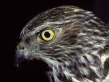 The Piercing Stare of a Brown Goshawk's Yellow Eye, Melbourne Zoo, Australia Photographic Print by Jason Edwards