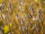 Soybeans in a Field in Nebraska Photographic Print by Joel Sartore