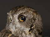This Now Captive Eastern Screech Owl Was Hit by a Car, Sunset Zoo, Kansas Photographic Print by Joel Sartore