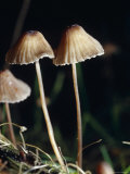 The Fragile Stem and Cap of Fungi, Mycena Cystidiosa, Bunyip State Forest, Australia Photographic Print by Jason Edwards