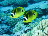 Two Racoon Butterflyfish, Takapoto Atoll, French Polynesia Fotografisk tryk af Tim Laman