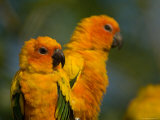 Sun Conures at the Zoo Photographic Print by Joel Sartore