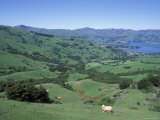Sheep Grazing in Barry's Bay and Akaroa Harbor from Hilltop Photographic Print by Rich Reid