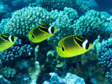 Several Racoon Butterflyfish, Takapoto Atoll, French Polynesia Reproduction photographique par Tim Laman