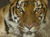Siberian Tiger from the Omaha Zoo, Nebraska Photographic Print by Joel Sartore