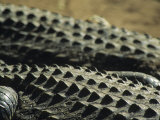 The Backs of Crocodiles in the African Sun, South Africa Photographic Print by Bill Hatcher