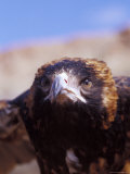 The Intense Glare of a Black Breasted Buzzard, Australia Lámina fotográfica por Jason Edwards