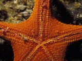 The Underside Texture Detail of a Sea Star, Asterodiscides Truncatus, Australia Photographic Print by Jason Edwards