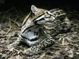 Secretive Ocelot Rests in the Understorey on Forest Leaf Litter, Melbourne Zoo, Australia Photographic Print by Jason Edwards