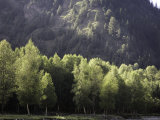 Sunlit Trees with Mountain Background in Qilian Mountains, China Photographic Print by David Evans