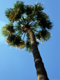 Single Palm Tree Photographic Print by Stacy Gold