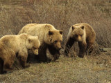 Sow Grizzly with Cubs, Alaska Photographic Print by Michael S. Quinton