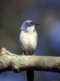 Scrub Jay Perched at el Capitan Canyon, California Photographic Print by Rich Reid