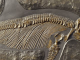 The Ribs and Spine of Ichthyosaur Fossil Stenopterygius Quadriscissus, Australia Fotografisk tryk af Jason Edwards