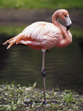 Statuesque Greater Flamingo Poised on One Leg, Bronx Zoo, New York Photographic Print by Jason Edwards